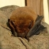 hibernating_bat